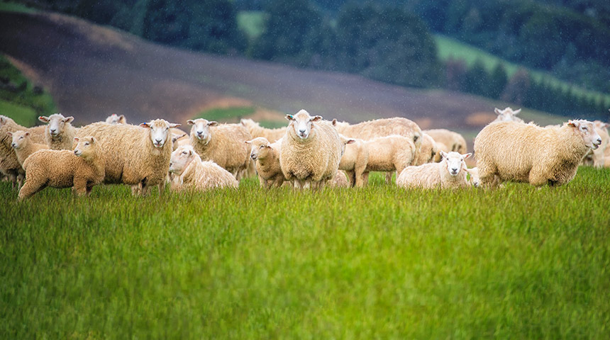 Sheeps in field